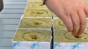 Vrouwelijke werknemer het zaaien tomaten hybride zaden stock video