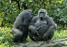 Vrouwelijke Westelijke laaglandgorilla's met baby, Dallas Zoo stock afbeelding