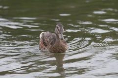 Vrouwelijke wilde eend op het meer Stock Foto's