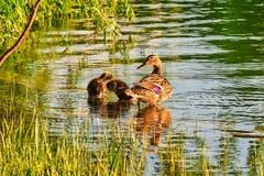 Vrouwelijke wilde eendeend met twee eendjes die gladstrijken bij de rand van een stedelijk meer, op een warme Mei-avond stock foto