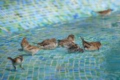 Vrouwelijke wilde mussen die een vogelbad in ondiep zwembadwater hebben stock fotografie