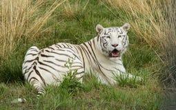 Vrouwelijke Witte Albinotijger in gevangenschap royalty-vrije stock fotografie