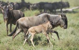 Vrouwelijke Witte Gebaarde Wildebeest die met zijn nieuw lopen - geboren kalf, Stock Fotografie