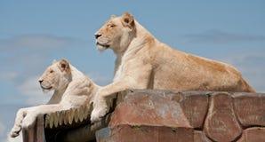 Vrouwelijke Witte Leeuwinnen Royalty-vrije Stock Afbeelding