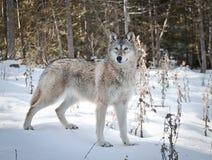 Vrouwelijke Wolf Royalty-vrije Stock Foto's