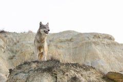 Vrouwelijke wolf die over terrein kijken Royalty-vrije Stock Afbeeldingen