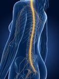 Vrouwelijke zenuwen stock illustratie