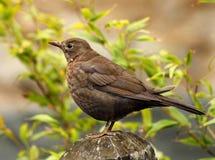 Vrouwelijke Zwarte Vogel Stock Afbeeldingen