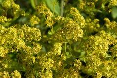 Vrouwemantel (vulgaris Alchemilla) Royalty-vrije Stock Afbeeldingen