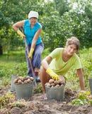 Vrouwen die aardappels oogsten Stock Foto