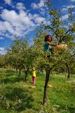 Vrouwen die appelen in een boom plukken Royalty-vrije Stock Afbeeldingen