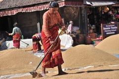 Vrouwen die rijst drogen Stock Fotografie