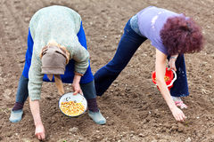 Vrouwen die sjalot planten (jonge uien) Royalty-vrije Stock Foto