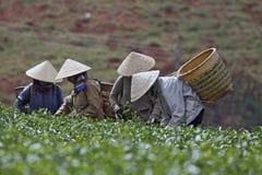 Vrouwen die thee plukken Royalty-vrije Stock Foto