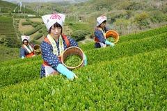 Vrouwen die theeblaadjes oogsten Stock Foto
