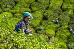 Vrouwen die theebladen in een theeaanplanting plukken Stock Foto