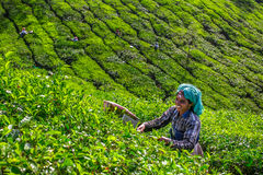 Vrouwen die theebladen in een theeaanplanting plukken rond Munnar, Kerala Stock Foto's