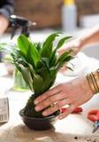 Vrouwen in proces aan houseplant opnieuw planten Stock Foto