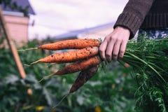 Vrouwen` s hand die ongewassen wortelen van de tuin op de achtergrond van een vage tuin houden stock afbeelding
