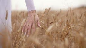 Vrouwen` s hand die tarwegebied doornemen Meisjes` s hand wat betreft tarwegewassen stock footage