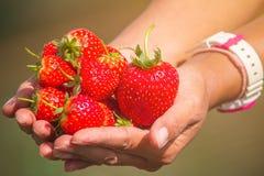 Vrouwen` s handen die een bos van aardbeien houden Stock Afbeeldingen