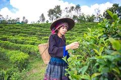 Vrouwen van Azië plukten theebladen stock afbeelding