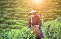Vrouwen van Azië plukten theebladen bij een thee royalty-vrije stock foto