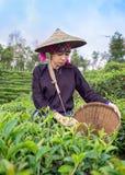 Vrouwen van Azië plukten theebladen bij een theeaanplanting stock fotografie