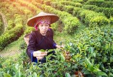 Vrouwen van Azië plukten theebladen bij een theeaanplanting, achtergrondaard stock fotografie