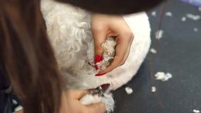 Vrouwen veterinaire versiering de klauwen van een hond Bichon Frise in een veterinaire kliniek stock video