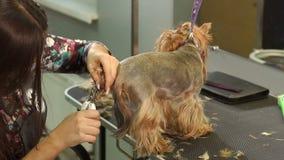 Vrouwen veterinaire versiering de klauwen van Yorkshire Terrier in een veterinaire kliniek stock footage