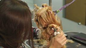 Vrouwen veterinaire versiering de klauwen van Yorkshire Terrier in een veterinaire kliniek stock videobeelden