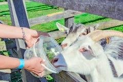 Vrouwen voedende geiten stock foto's
