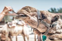 Vrouwen voedende kameel met johannesbroodpeul stock fotografie