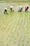 Vrouwen workin op padieveld royalty-vrije stock foto