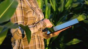 Vrouwenagronoom die tabletcomputer op landbouw gecultiveerd graangebied met behulp van in zonsondergang stock footage