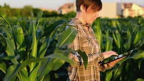 Vrouwenagronoom die tabletcomputer op landbouw gecultiveerd graangebied met behulp van in zonsondergang stock video