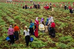 Vrouwenarbeiders het oogsten Stock Fotografie