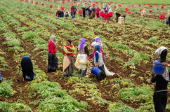 Vrouwenarbeiders het oogsten Royalty-vrije Stock Foto's