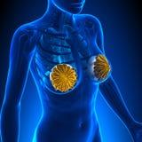 Vrouwenborstimplantaat vector illustratie