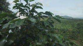 Vrouwengangen op een koffieaanplanting stock video