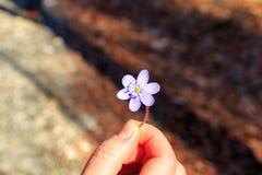 Vrouwenhand die een kleine violette bloem in de lente houden Royalty-vrije Stock Afbeeldingen