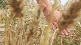 Vrouwenhand op tarwegebied, achtermening stock videobeelden