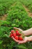 Vrouwenhanden die vers geplukte aardbeien in beide handen, zelf het plukken aardbeilandbouwbedrijf op achtergrond, ruimte voor te royalty-vrije stock afbeelding