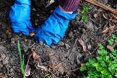 Vrouwenhanden planten uien in de tuinbedden Het tuinieren het werk in de lentetijd stock fotografie