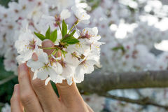 Vrouwenholding Cherry Blossoms Royalty-vrije Stock Foto