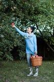 Vrouwenlandbouwer bij het werk het plukken appelen Stock Fotografie