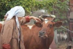 Vrouwenlandbouwer die een koe voeden Ñ  oncept van: het fokken royalty-vrije stock afbeeldingen