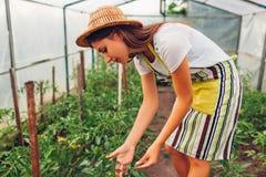Vrouwenlandbouwer die tomatenzaailingen bekijken die in serre groeien Arbeider die groenten in broeikas controleren stock foto