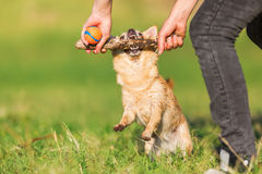 Vrouwenspelen met chihuahua het hangen bij een stok stock afbeelding